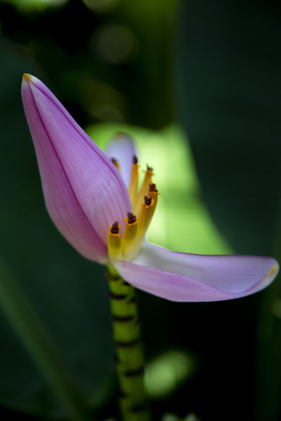 Flower of a banana plant | Singapore Botanic Gardens | 新加玻