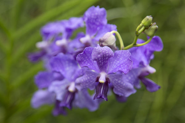Foto van Purple orchid in HortparkSouthern ridges - Singapore