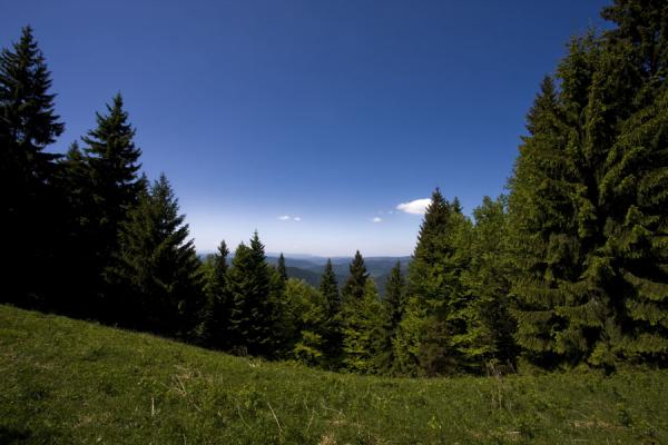 Picture of Pine trees in an open space on a trail in Vrátna Valley