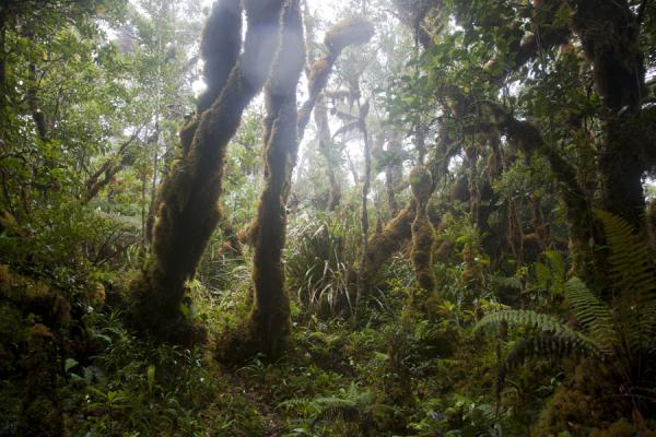 Picture of Kolombangara climb (Solomon Islands): Thick moss covering the trees near the summit of Mount Kolombangara