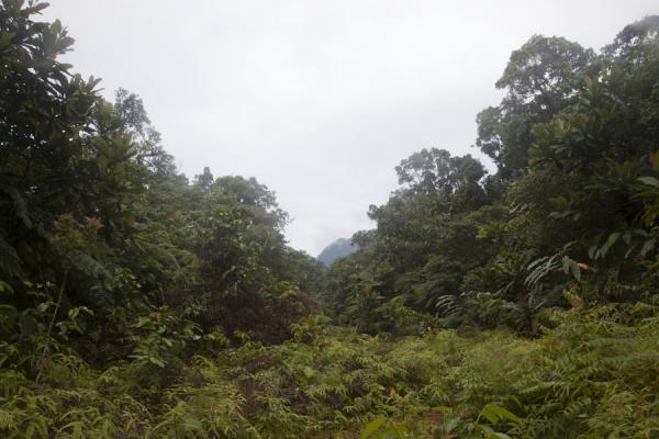 Picture of Kolombangara climb (Solomon Islands): Vegetation at lower altitudes on the way to the top of Mount Kolombangara