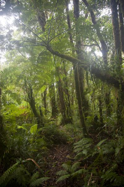 Picture of Kolombangara climb (Solomon Islands): Near the top of Mount Kolombangara