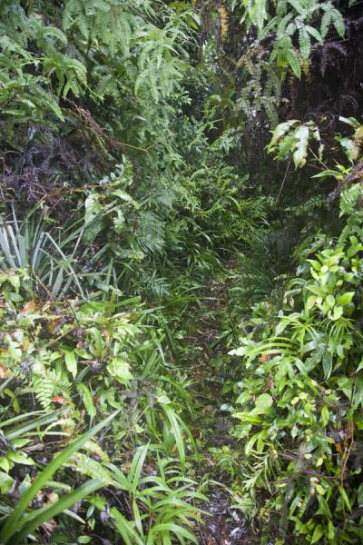 Picture of Kolombangara climb (Solomon Islands): The trail to Kolombangara takes you through thick forest