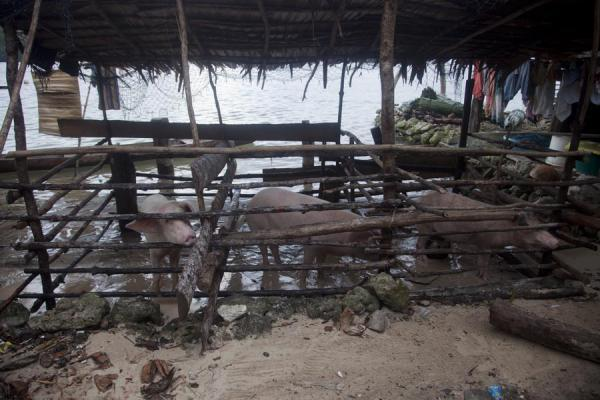 Pigs living a caged life at the waterline of Lilisiana | Lilisiana | Solomon Islands