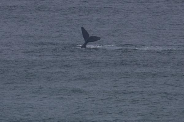 Picture of Whale tail seen from a sand dune near Koppie Alleen in De Hoop ReserveDe Hoop - South Africa