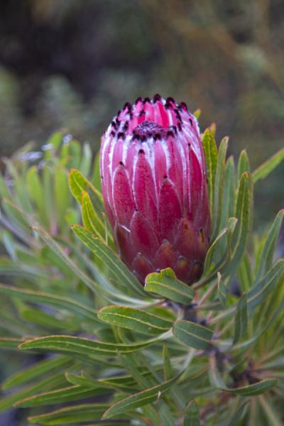 Flowering protea in Hottentots Holland reserve | Hottentots Holland Nature Reserve | South Africa