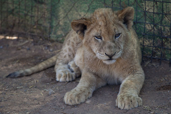 Foto van Lion cub in the shadeLanseria - Zuid Afrika