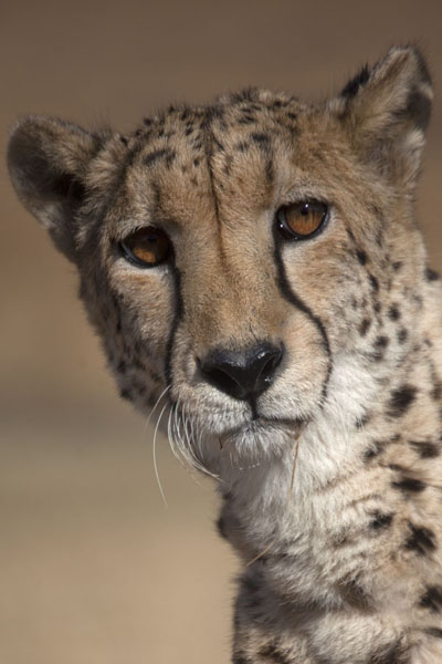 Foto de The piercing gaze of the cheetahLanseria - Africa del Sur