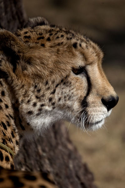 Foto de Close-up of the head of a cheetahLanseria - Africa del Sur