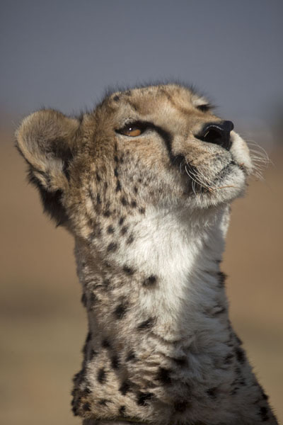 Foto de Cheetah with its head in the airLanseria - Africa del Sur