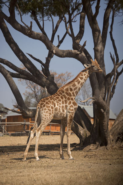 Foto van Giraffe in the small park inside the Lion ParkLanseria - Zuid Afrika