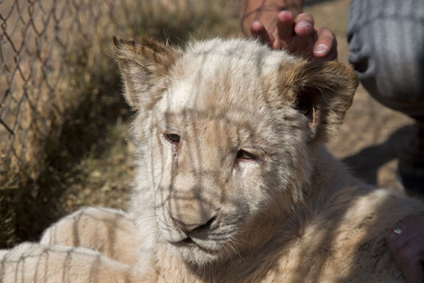 Picture of White lion cub being strokedLanseria - South Africa
