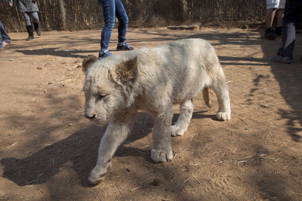Foto van One of the white lion cubs in the parkLanseria - Zuid Afrika