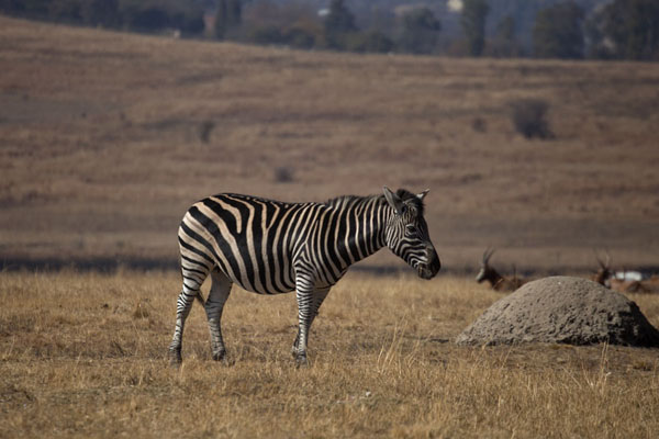 Foto de Zebra in the plains of the parkLanseria - Africa del Sur
