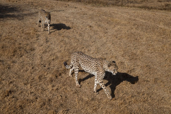 Foto de The two cheetahs, Shitana and her brother, walking freeLanseria - Africa del Sur