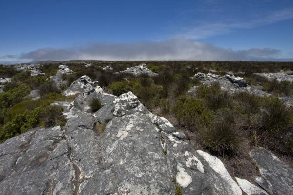 Picture of Table Mountain (South Africa): Fynbos on the flat surface on top of Table Mountain