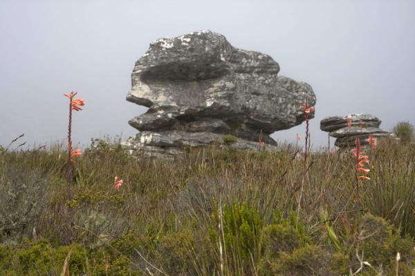 Rock formation and flowers on top of Table Mountain | Tafelberg | Zuid Afrika