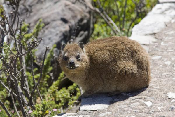 Dassie waiting for his picture to be taken | Table Mountain | South Africa