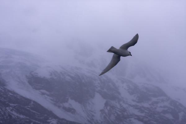 Foto di Snow petrel in its element, flying through Drygalski Fjord - Georgia del Sud e isole Sandwich meridionali - Antartide