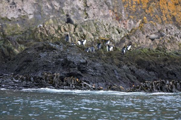 Macaroni penguins on the rocks of Esenhul | Esenhul | South Georgia and South Sandwich Islands