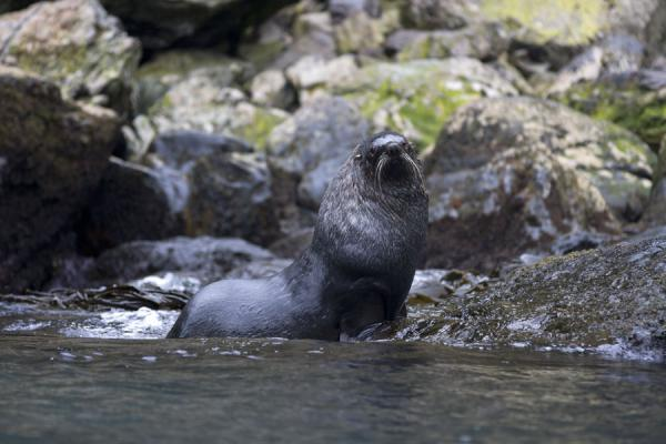 Picture of Esenhul (South Georgia and South Sandwich Islands): Watchful seal at Esenhul