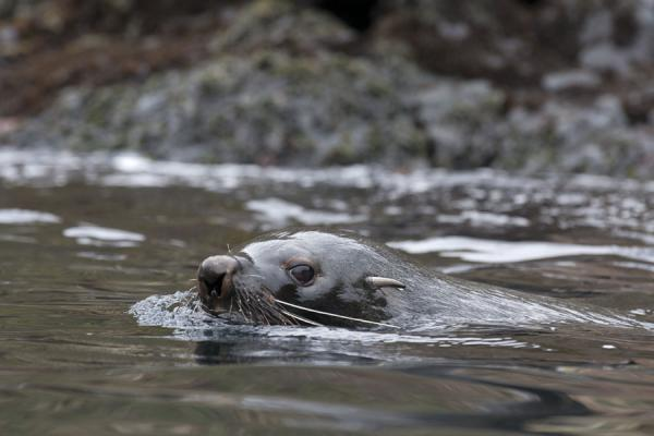 Picture of Esenhul (South Georgia and South Sandwich Islands): Seal with long whiskers in the water of Esenhul