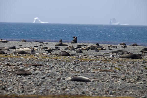 Picture of Seals on the beach and icebergs in the distance at Stromness