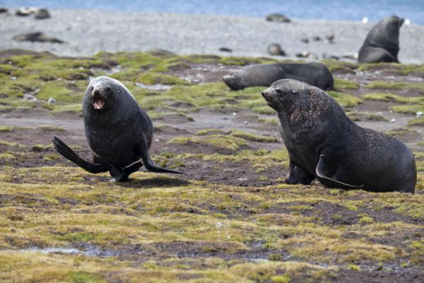 Picture of Seals on the beach at Stromness