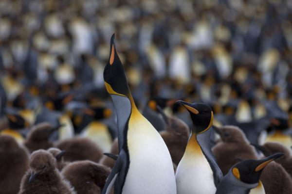 Picture of Gold Harbour (South Georgia and South Sandwich Islands): Singing King penguin at the colony at Gold Harbour