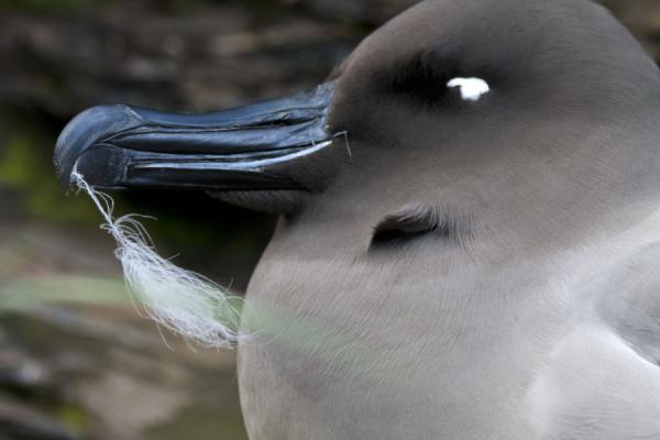 Foto di Close-up of light mantled sooty albatross on a nestGold Harbour - Georgia del Sud e isole Sandwich meridionali