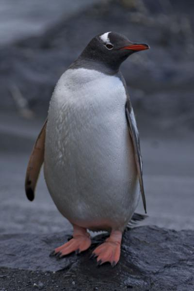 Photo de Gentoo penguin showing off at the beach of Gold Harbour - Géorgie du Sud-et-les îles Sandwich du Sud - Antarctique