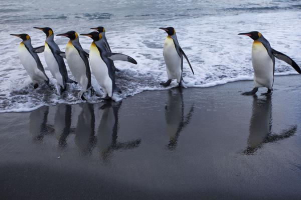 Picture of Gold Harbour (South Georgia and South Sandwich Islands): King penguins walking down Gold Harbour reflected in the sand