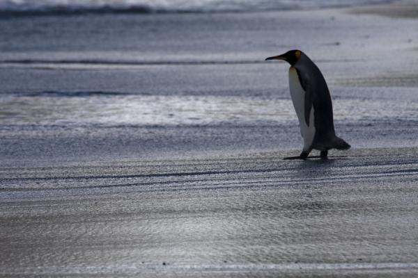 Foto di Lone King penguin walking towards the sea at Gold HarbourGold Harbour - Georgia del Sud e isole Sandwich meridionali