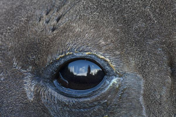 Close-up of the eye of a seal with reflection of photographer and glacier | Gold Harbour | Géorgie du Sud-et-les îles Sandwich du Sud
