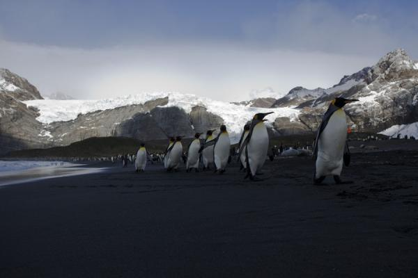 Row of King penguins walking the black beach of Gold Harbour - 南乔治牙和南三明治群岛