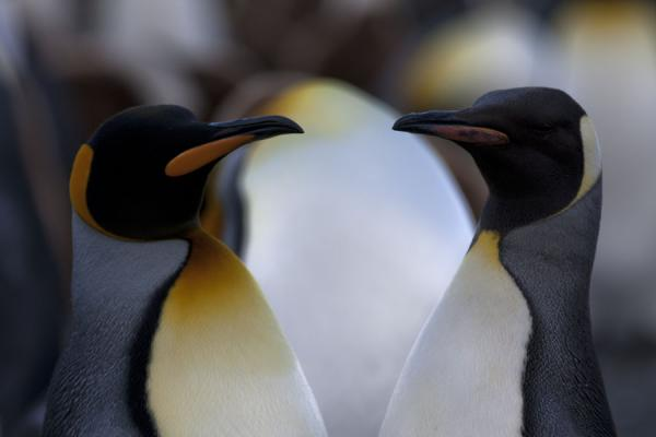 Close-up of two King penguins at Gold Harbour - 南乔治牙和南三明治群岛