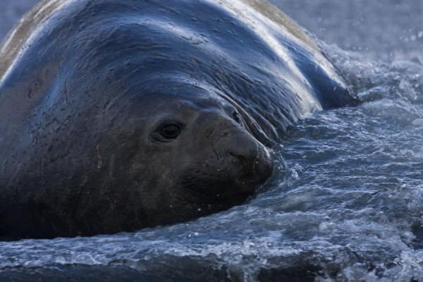 Elephant seal in the surf at Gold Harbour - 南乔治牙和南三明治群岛