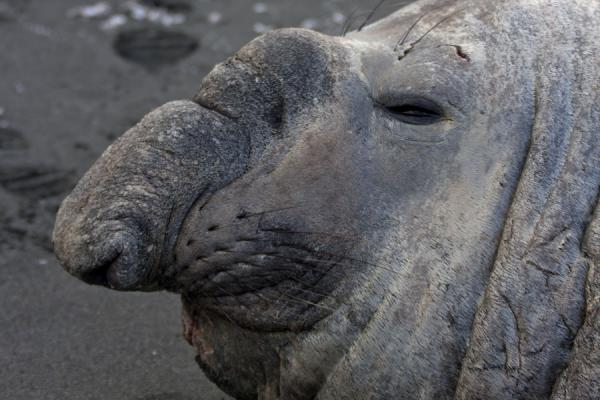 Picture of A moment of peace for an elephant seal - South Georgia and South Sandwich Islands - Antarctica