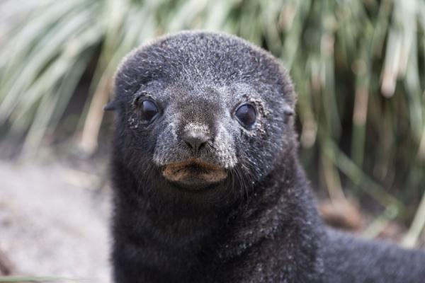 Picture of Ocean Harbour (South Georgia and South Sandwich Islands): Seal pup looking into the camera at Ocean Harbour
