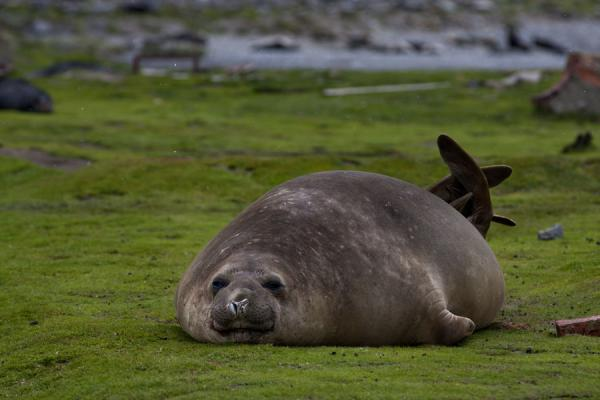 Foto de Elephant seal resting in the green grassOcean Harbour - Islas Georgias del Sur y Sandwich del Sur