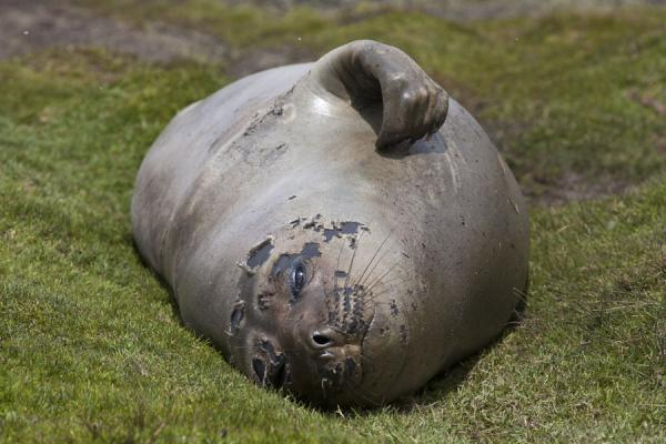 Picture of Ocean Harbour (South Georgia and South Sandwich Islands): Elephant seal on the grass, scratching his side