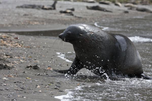 Picture of Ocean Harbour (South Georgia and South Sandwich Islands): Seal running out of the water at Ocean Harbour