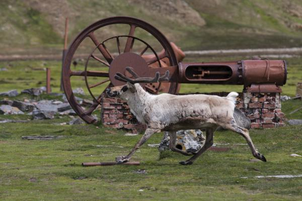 Foto de Reindeer running past rusty machine at Ocean HarbourOcean Harbour - Islas Georgias del Sur y Sandwich del Sur