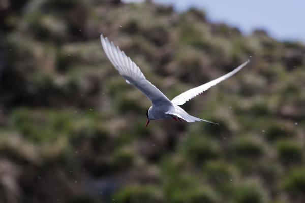 Picture of Ocean Harbour (South Georgia and South Sandwich Islands): Tern spreading its wings at Ocean Harbour