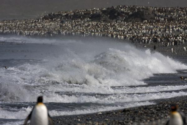 Foto de King penguins in the wild surf of Saint Andrews BaySaint Andrews Bay - Islas Georgias del Sur y Sandwich del Sur