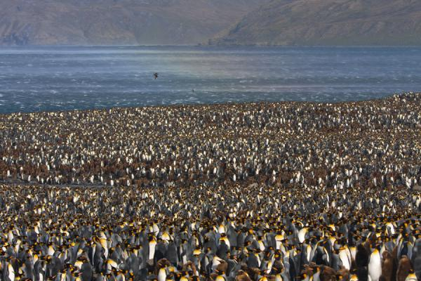 Multitude of King penguins with vague rainbow over the sea | Saint Andrews Bay | South Georgia and South Sandwich Islands