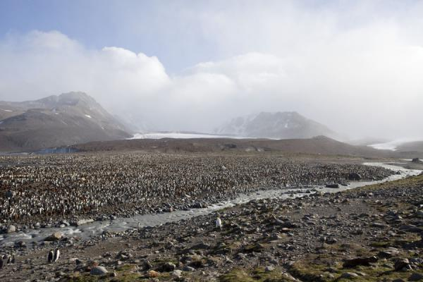 Foto di King penguin colony with river and glaciersSaint Andrews Bay - Georgia del Sud e isole Sandwich meridionali