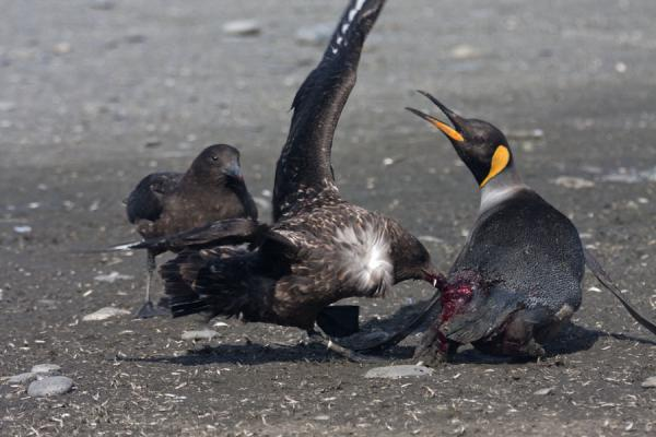 Skua attacking a King penguin | Saint Andrews Bay | Islas Georgias del Sur y Sandwich del Sur