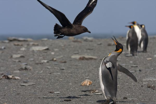 Foto di Skua and King penguin in a standoffSaint Andrews Bay - Georgia del Sud e isole Sandwich meridionali