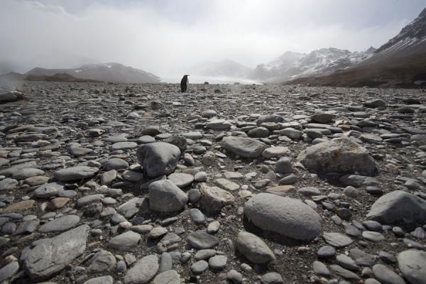 Picture of Saint Andrews Bay (South Georgia and South Sandwich Islands): King penguin on stones with glaciers